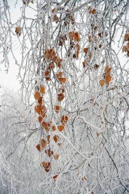 Branches of a birch with yellow leaves.