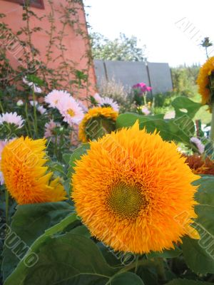 Decorative flowers of a sunflower