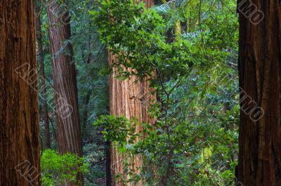 Redwoods Muir Woods