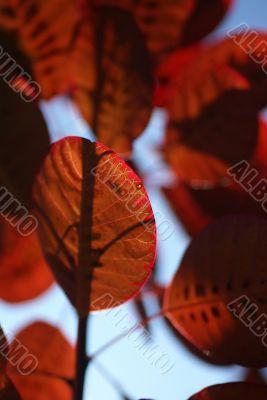 Vein pattern in red smoke bush leaf