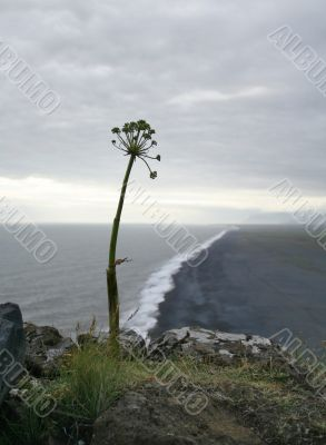 lonely flower on icelandic seashore