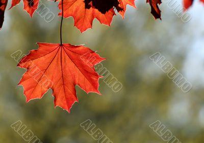 Backlit Copper Maple Leaf