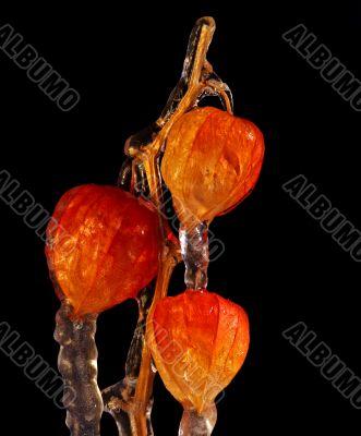 frostbound ground-cherry