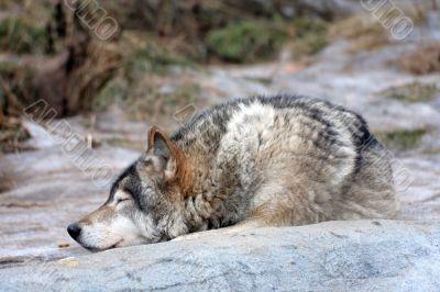 Wolf rests
