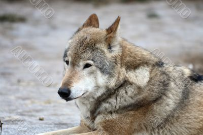 She-wolf, mood is the rest