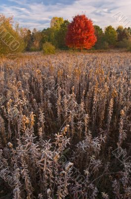 Autumn Maple in Frosted Meadow