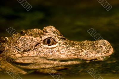 Alligator`s gypnotic eyes