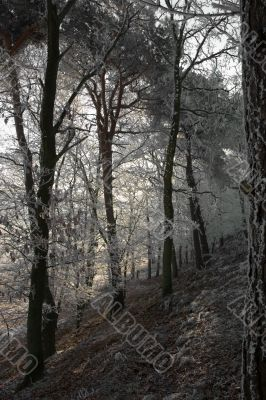 Snowcovered trees on a hillslope