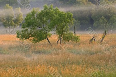 Foggy Meadow with Golden Grasses
