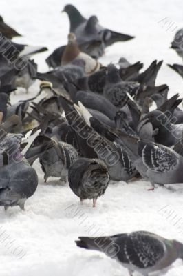Pigeons with finding eating into snow 3