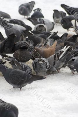Pigeons with finding eating into snow 2