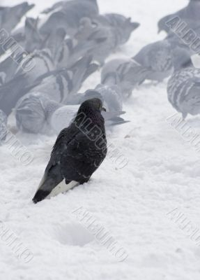 Pigeons with finding eating into snow 1