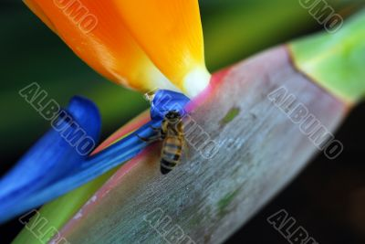 Insect feeding on Flower Bird Of Paradise Strelitzia reginae