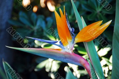Flower Bird Of Paradise Strelitzia reginae