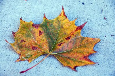 Canada Maple Leaf Fall Season