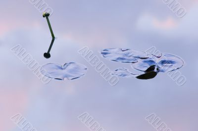 Bullhead Lily and Reflections