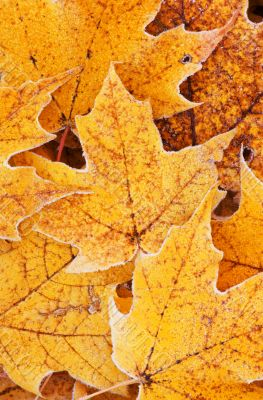 Frosted Maple Leaves