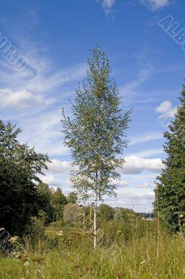 Birches 01