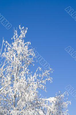 Birches 13