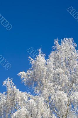 Birches 11