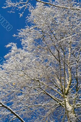 Birches 04