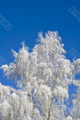 Birches 02