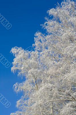 Birches 09