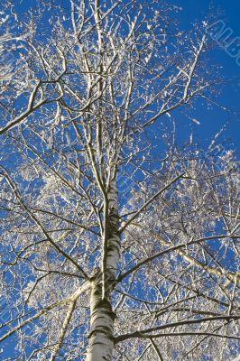 Birches 05