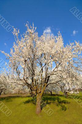 plums in  garden