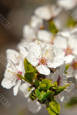 flowers plums - CONTEST