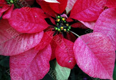 Poinsettia Red Flowers on Christmas