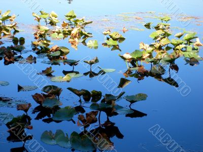 Lilly Pads In Sun and Shade