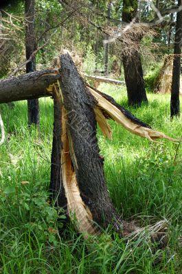 Broken pine tree after storm