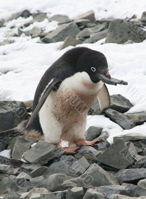 Adelie penguin choosing a rock