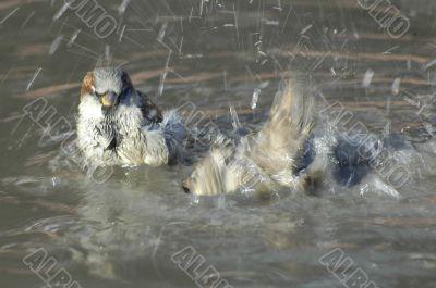 Sparrows bathing in pool