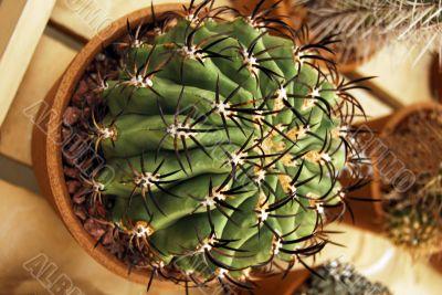 Cactus with black thorns