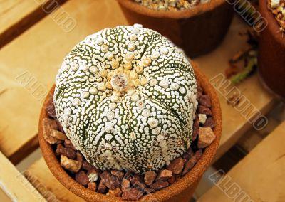 Cactus astrophytum kebuta