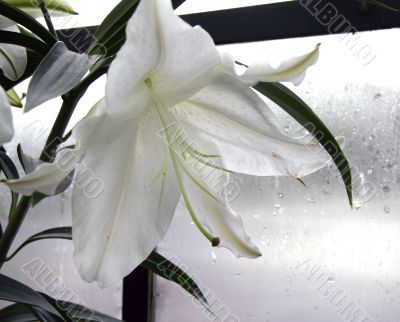White Lily in Greenhouse