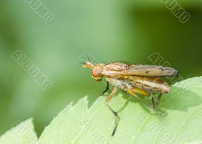 Marsh Fly (Tetanocera)