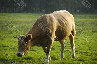 Cow in meadow