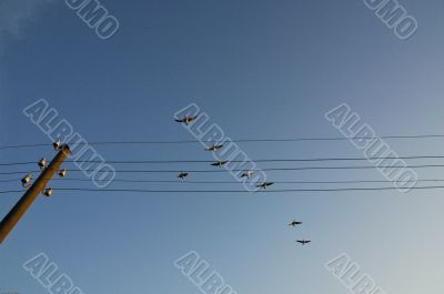 Birds flying over telephone poles