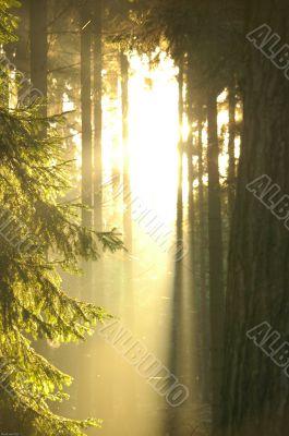 Sunrays piercing through trees