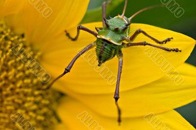 Armored corn cricket