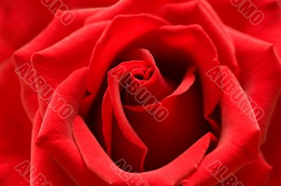 Red rose with heart symbol from petal in center