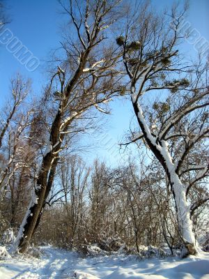 Winter  trees on clear blue sky background