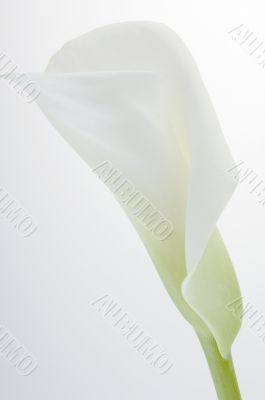 Calla lily over white