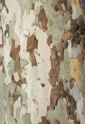 Beech Bark Tree Disease Camouflage Background