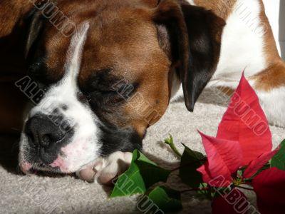 Boxer with Poinsettia