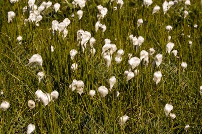 Meadow of the Cotton grass. Swiss Alps.