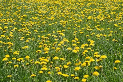 Sunny dandelion lawn